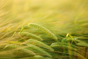 DER GREEN DEAL IN DER GEMEINSAMEN EUROPÄISCHEN AGRARPOLITIK Auswirkungen für deutsche Bauern
